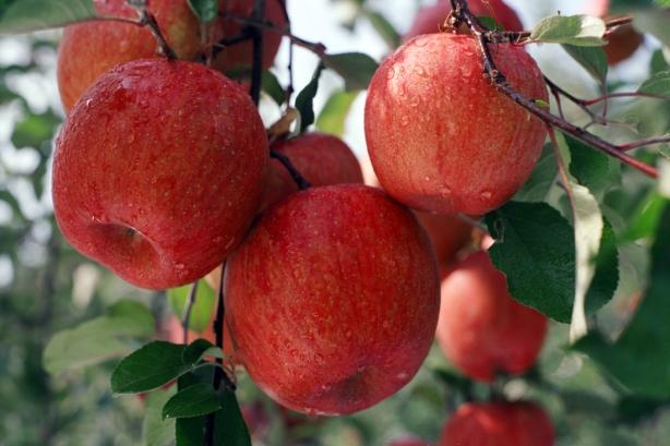 Uiseong Apple Farming